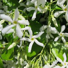 Star Jasmine Vine Plants - 2 Plants - Trachelospermum Jasminoides - fragrant