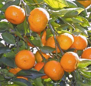 "SATSUMA FRUIT TREE REAL LIVE PLANT CITRUS 3""6""SEEDLING MANDARIN TANGERINE ORANGE"
