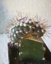S704  COPIAPOA Cinerea Cristata 5,0cm.  Injerto. cactus, suculenta.