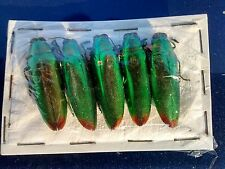 FIVE iridescent Jewel Beetles - Chrysochroa fulminans Fast despatch from the UK.