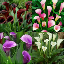2Pcs Colorful Calla Lily Bulbs Flower Roots Rare Plants Flower Corm Garden Decor