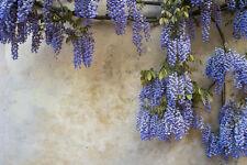 winterhart: der wunderschöne Blauregen rankt alles blauviolett ein !