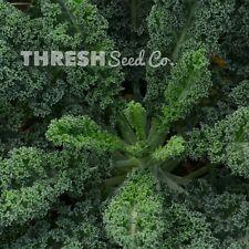 Kale - Halbhoher Gruner Krauser - 100 heirloom seeds + Free Gift