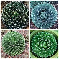 10 Samen der agave reginae victoriae ,seeds succulents G