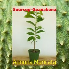 Live Guanabana-Soursop Tropical Fruit Tree -Annona Muricata Tree 14