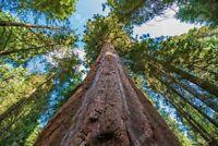 Sequoiadendron giganteum (Giant Sequoia Redwood Tree) 200 Rare viable tree seeds