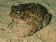 New listing *24 hr $ale* Live Southern Toad Frog Aquarium Terrarium Pet
