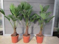 Trachycarpus wagnerianus - Wagners Hanfpalme 80-100cm Pflanze  Winterharte -18°C