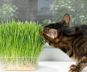 100-*1,475 ct. CAT GRASS SEEDS Choose: Oat | Wheat | Cereal Rye | Barley | Blend