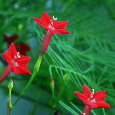 10 Pcs Red Cypress Vine Seeds Quamoclit Pennata Garden Flower Seed S072