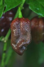 Peperoncino MULATO ISLENO semi Chili semi mezzi affilato