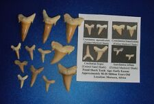 Fossil sharks tooth Fossil teeth mix lot 12 teeth A + Complete before Megalodon