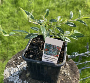 Cotoneaster salicifolius 'Gnom' FREE DELIVERY ON 5 OR MORE OF ANY PLANTS