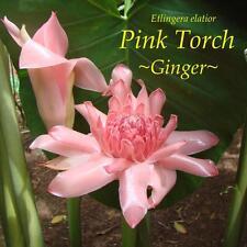 ~PINK TORCH GINGER~ Exotic Etlingera elatior LIVE RARE PLANT sml potted starter