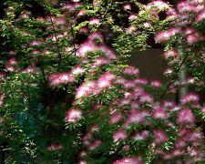 30 Samen Seidenbaum - Seidenakazie - Albizia julibrissin - Mimosa Silk Tree seed