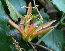 Native Passiflora herbertiana - 15 Fresh Seed
