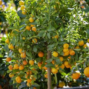 Citrus Calamondin 'Panama Orange' Tree 9cm pot