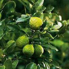 Dwarf Grafted Keiffer Citrus x hystrix KAFFIR lime Tree
