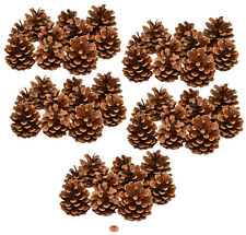 Muwse 50 Stk. Schwarzkiefer Zapfen Natur trocken Deko Floristik Basteln Pinus