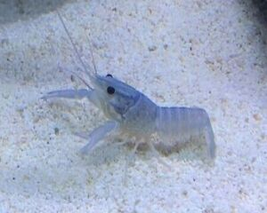 NEON BLUE LOBSTERS/CRAYFISH - Tropical Fish Tank Cleaner - SHRIMP'S - GRADE A