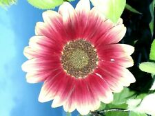 Ruby Eclipse Sunflower Seeds(Loads of Heads) Only 5-6 ft. tall 15 Seeds Comb.S/H
