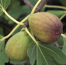 Fig Brunswick 3L Big Fig Tree Ficus Carica Green Yellow Edible Figs Plant