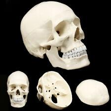 Anatomical Realistic Human Skull Model Medical Teaching Life Size Skeleton Party