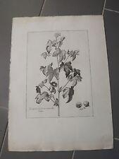 Estampe chalcographie botanique Musée du louvre   COTTON