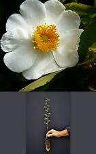 Rose Bracteata a40 Rose Macartney En Alvéole Forestier Forest Alvéole Plante