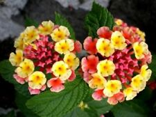 20 Lantana Camara Flower Seeds Mixed Perennial Plant Ornamental Herb Bonsai Home
