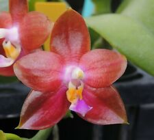 BIN FLASK  FRAGRANT Phal JohnEwing x LD BearQueen 'Mituo#1' Phalaenopsis  Orchid