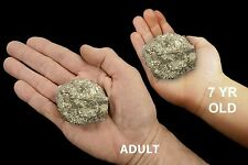 "Pyrite Chunk 2"" 5-8 Oz Fools Gold Rock Mineral Specimen Chakra Healing Crystal"