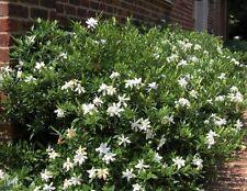 Frost Proof Gardenia ( cape jasmine ) - Live Plant - Trade Gallon Pot