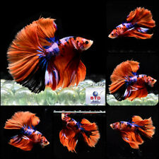 Male Betta Fish JN135 Fancy Nemo Half Moon Premium Grade Large Tails