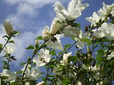 50 WHITE ROSE OF SHARON HIBISCUS Syriacus Flower Tree Bush Seeds *Comb S/H &Gift