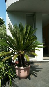 Cycas Revoluta - Palmfarn ca. 160 cm - Gesamthöhe Stammhöhe 50 cm