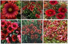 """"""" Mesa Red """" Gaillardia Blanket Flower - Very Pretty Long Lasting Red Flowers !"""