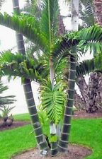 Dypsis lanceolata ( 3 ) Seedlings Palm Trees Live Tropical Rare