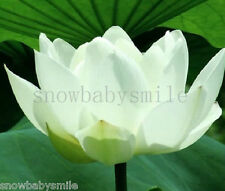 10 White Lotus Seeds Water Lily Pad Nymphaea Nelumbo Nucifera Pond Plant