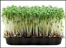 Mustard & cress  2500 Seeds  BUY 2 GET 1 FREE