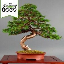 White Cedar - Thuja occidentalis (75 Bonsai Seeds)