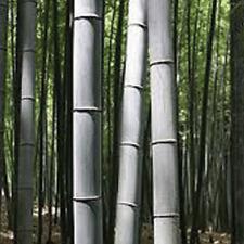 100 Blue Gray giant bamboo seeds Phyllostachys Nigra Henon US