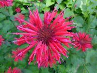 1  RED BEE BALM MONARDA JACOB CLINE Plant