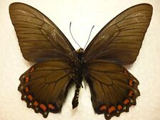 Real Butterfly/Insect Set/Spread.B3918 Rare Battus belus Peru 8.5 cm