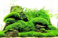 Moss on Mesh - Live Aquatic Aquarium Plants EASY and BEST VARIETY  Big Sale