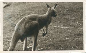 Kangaroo 1937 real photo from a zoo in somerset amateur shot