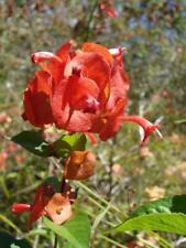 50 Seeds Holmskioldia sanguinea - Chinese Hat Plant #Ornamental