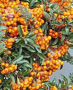 der immergrüne Feuerdorn bekommt im Herbst rote Zier-Beeren - Vogelfutter.