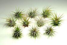 10 Air Plants on Sale! Tillandsia Ionantha Guatemala Air Plants, Easy Care Plant