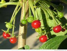 CAPSICUM RHOMBOIDEUM pure seeds, rare wild chili